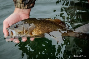 Fish NH Guide Service - nice smallmouth bass heading back to the water